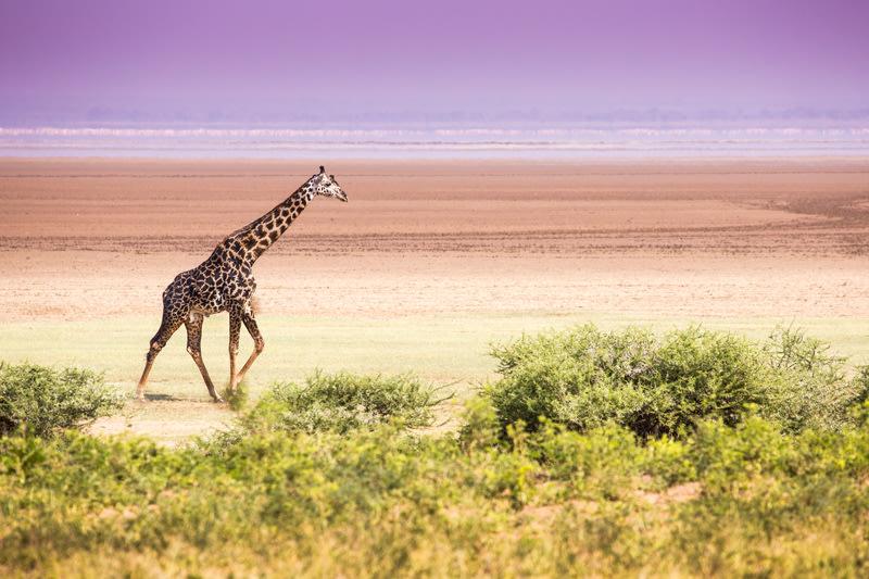 giraffe walking along plain in Lake Manyara National Park, Best time to visit Tanzania