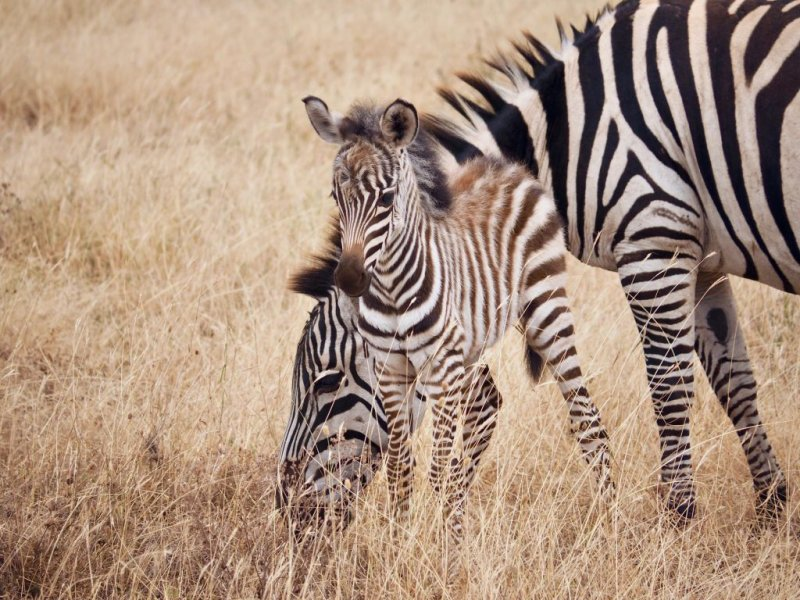 Zebras, mother and foal, Ngorongoro crater