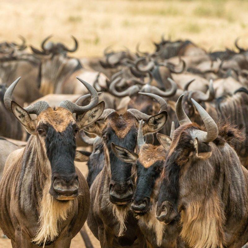 Wildebeests herd