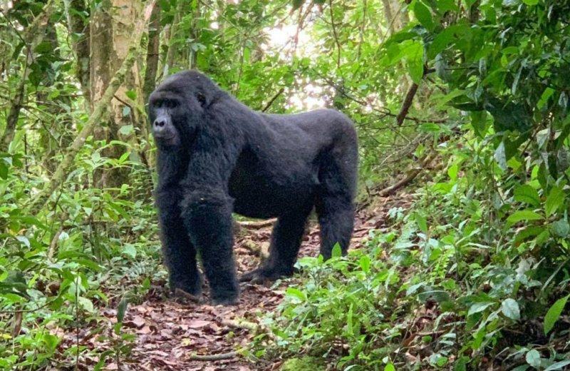 standing gorilla