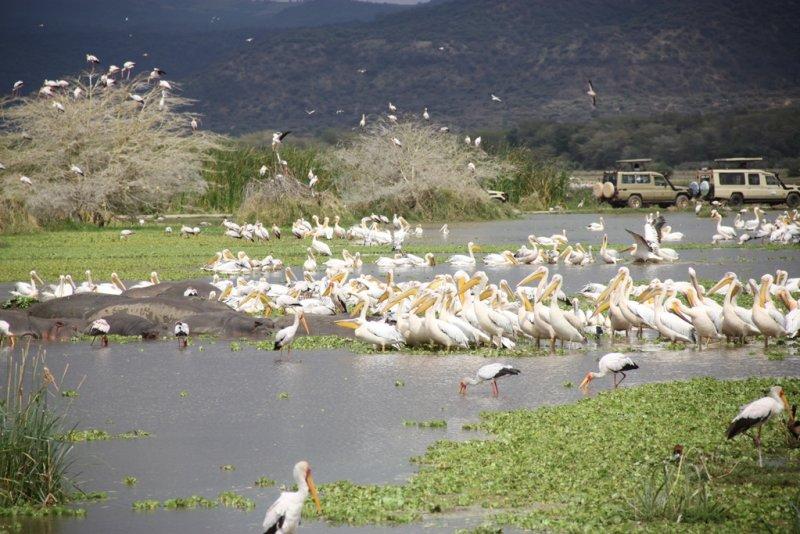 pelicans water Lake Manyara, why we love Lake Manyara National Park