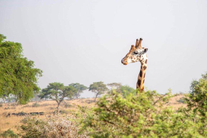 Giraffe. Safari a best thing to do after climbing Kilimanjaro