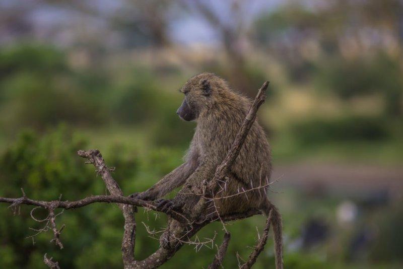 Baboon in Serengeti National Park