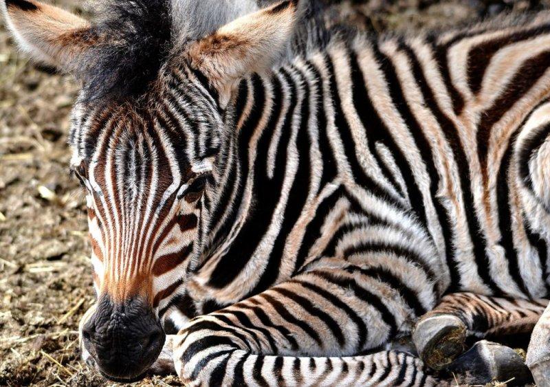 Zebra foal seated on ground