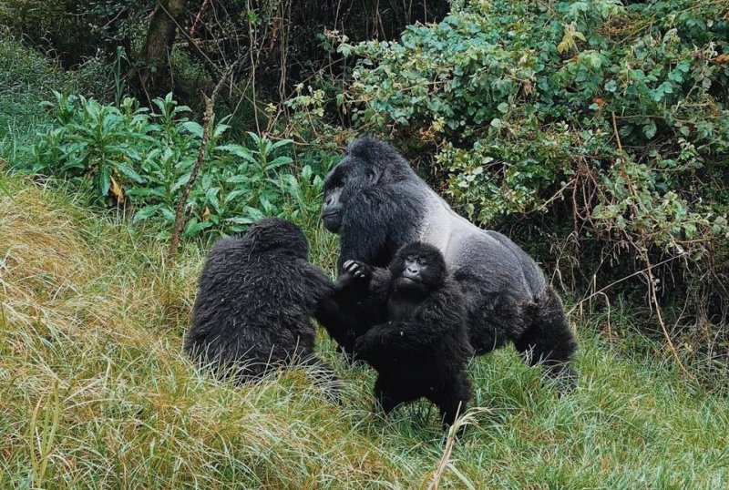 Silverback gorilla and two young gorillas in Bwindi