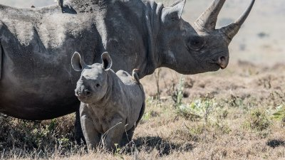 Black rhino and calf standing in grassland in Kenya
