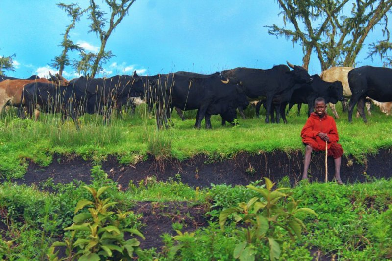 Maasai boy with his cattle herd