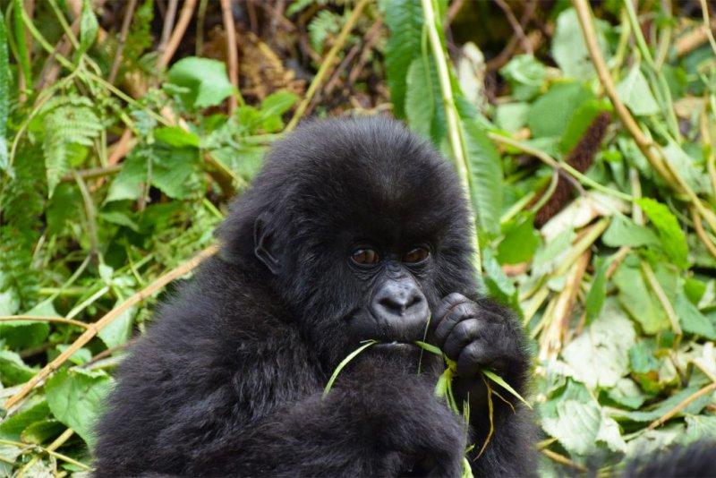 Gorilla Trekking Uganda Vs Rwanda Follow Alice
