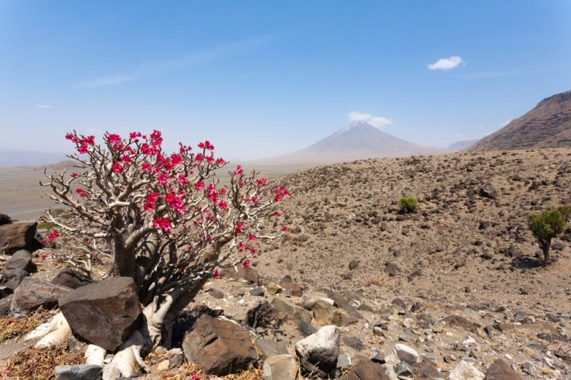 A desert rose tree with Mt Ol Doinyo Lengai in the background, Lake Natron