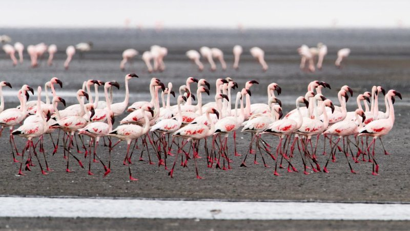 A stand of lesser flamingoes at Lake Natron