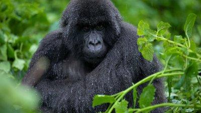Mountain gorilla sitting in the rain
