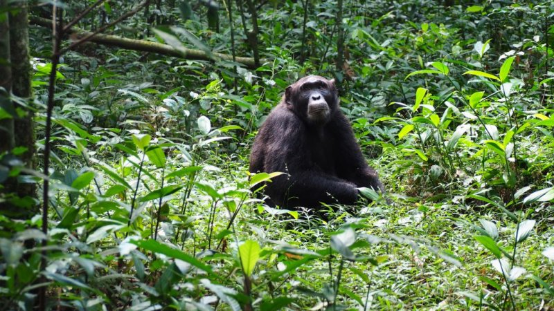 Chimp sitting in green grass