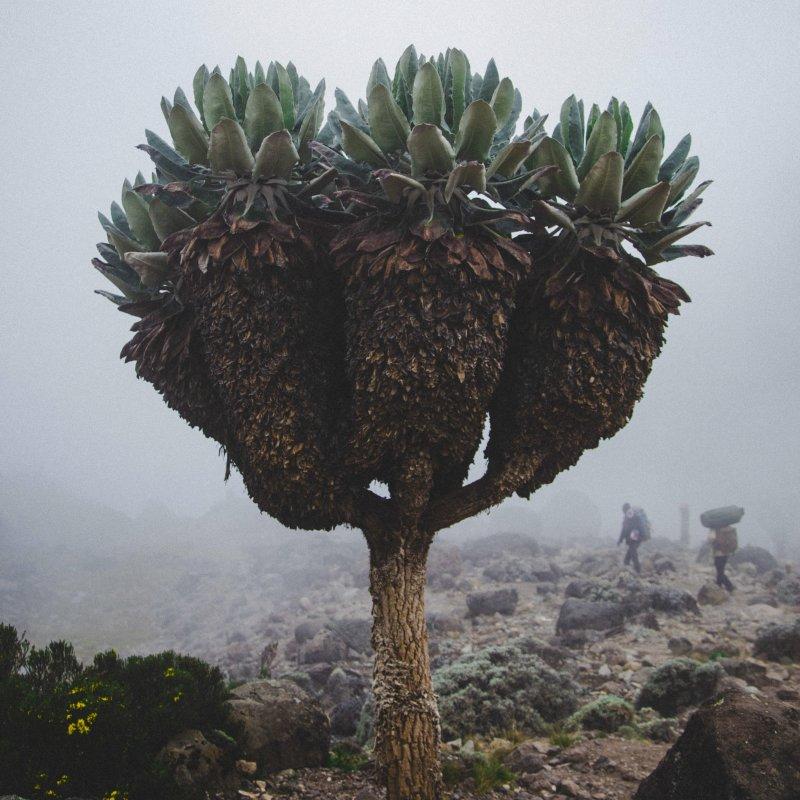 Giant groundsel in mist on Kilimanjaro