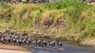 Great Migration herd
