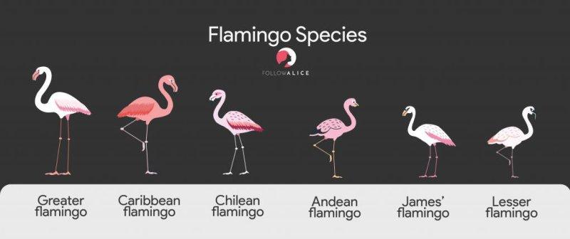 Flamingo species infographic