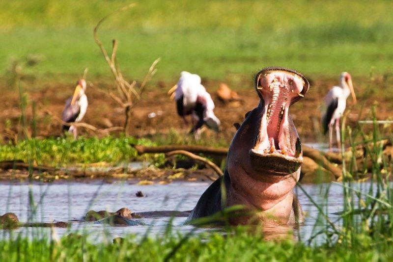 Hippo Pool, Lake Manyara, plus African spoonbills