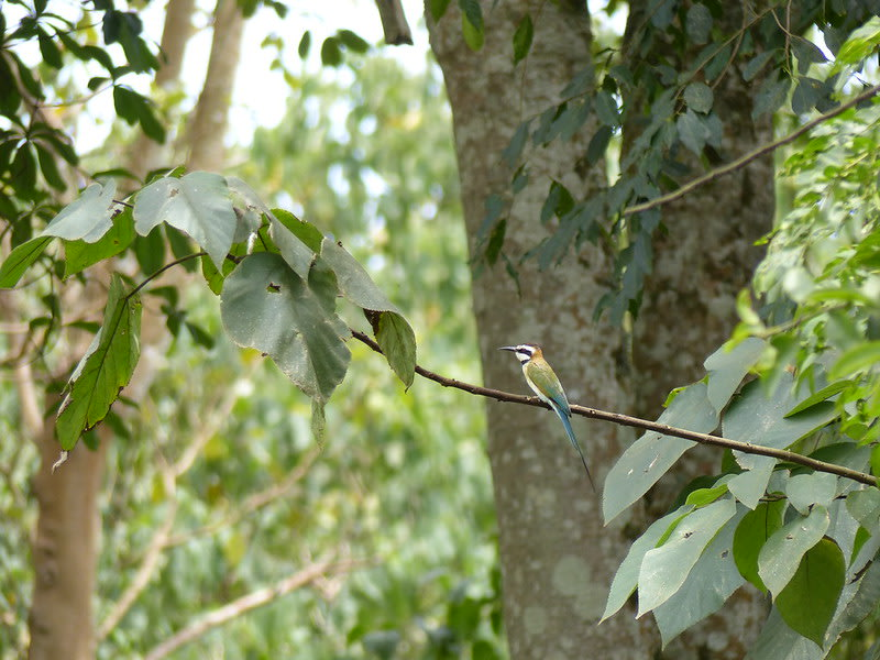 White-throated bee-eater in Mabira Forest Reserve in Jinja, Uganda