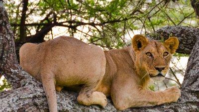 Lioness in tree, Tarangire