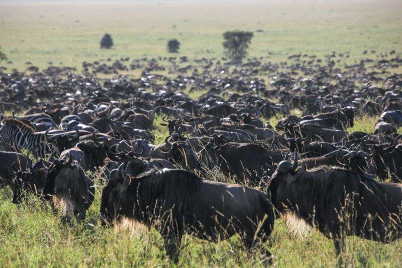 a blue wildebeest herd