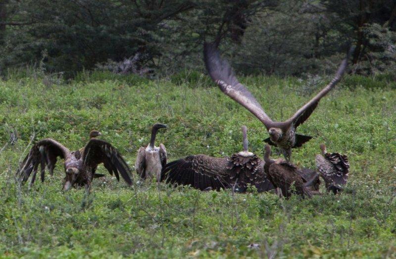 Rüpell's vultures Ngorongoro Crater safari