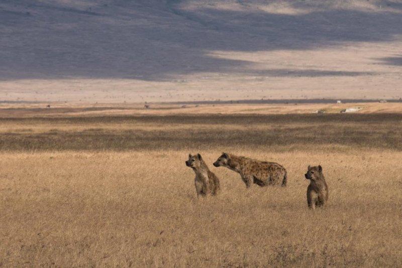spotted hyenas in dry grass, Ngorongoro Crater safari