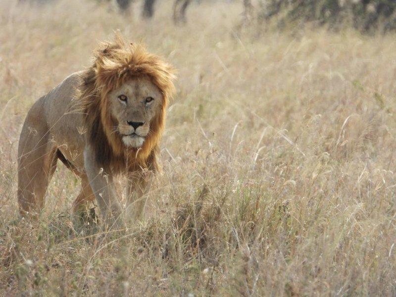 Lion in brown grass