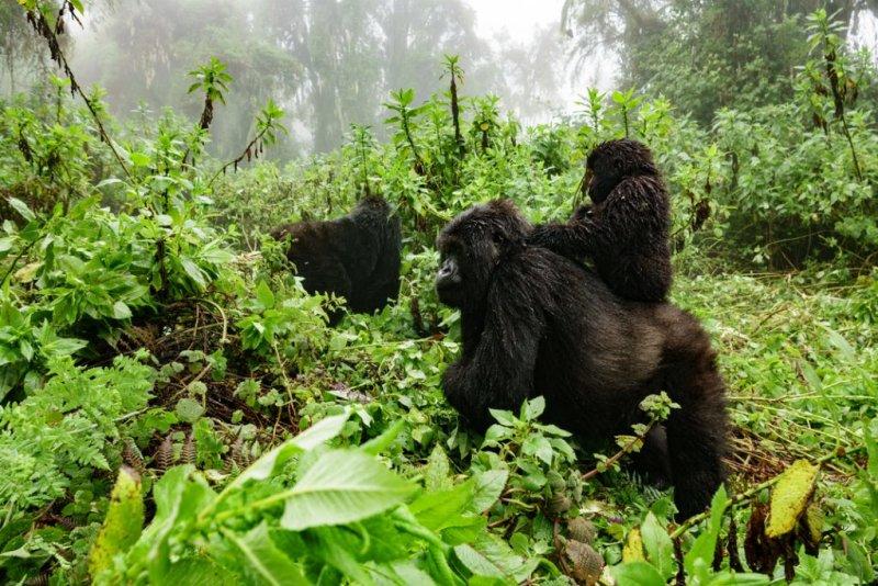 Gorilla troop, Bwindi Impenetrable National Park