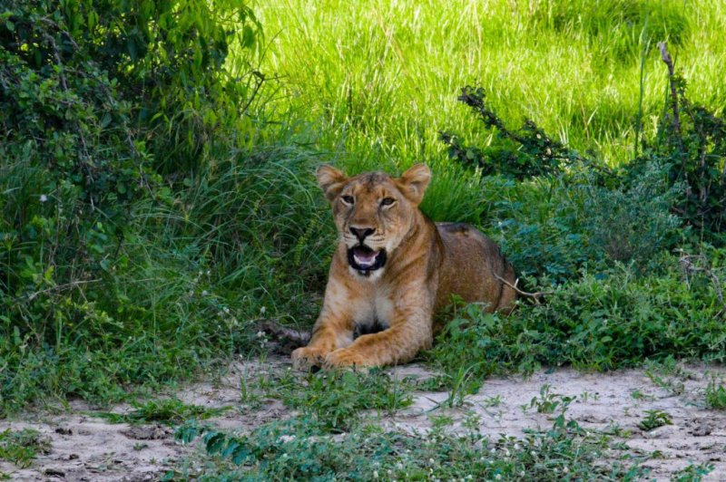 A lioness resting in a patch of shade, Ngorongoro Crater safari
