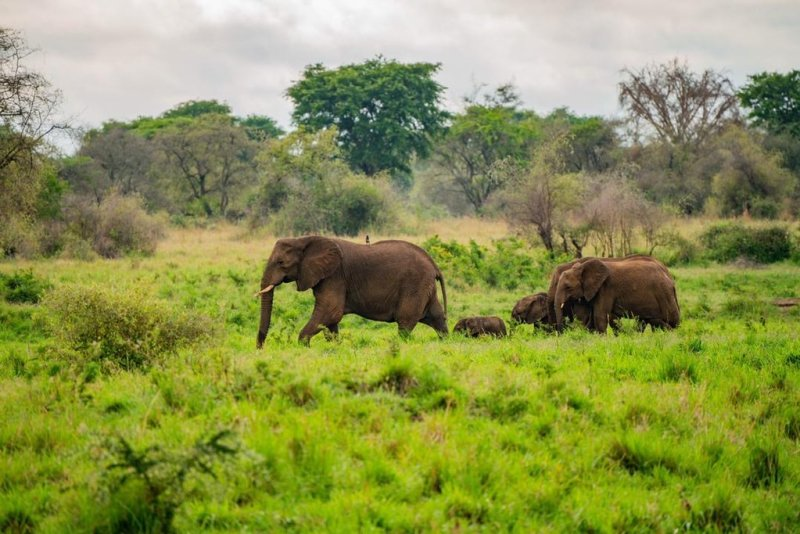 elephant herd in kidepo Valley national park, best time to visit uganda
