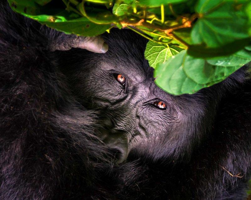 Mountain gorilla close up,Bwindi Impenetrable National Park, Uganda