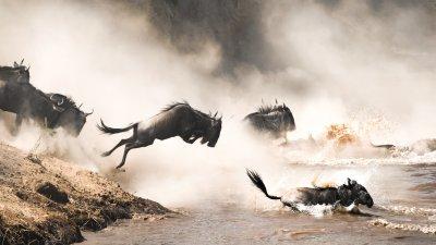 Wildebeests crossing river
