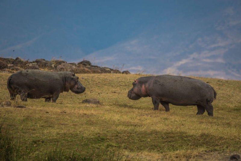 Hippos Ngorongoro Crater Tanzania African safari
