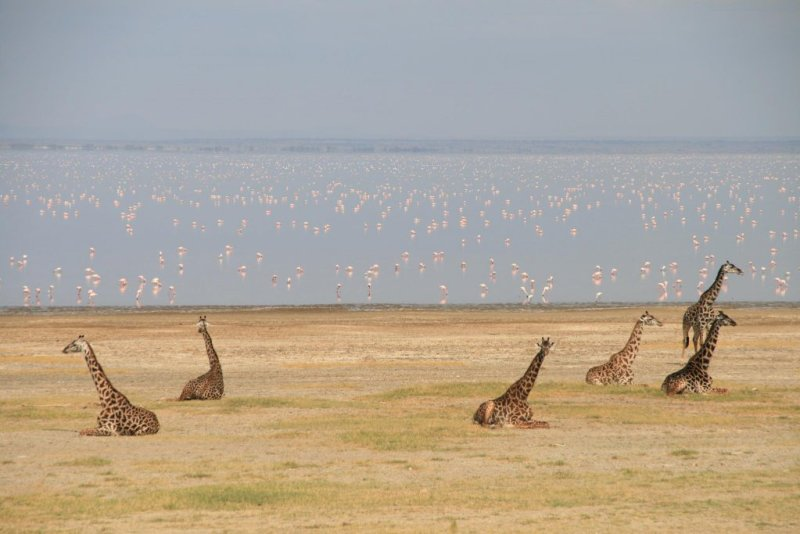 giraffes and flamingoes