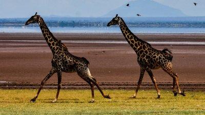 Giraffes running across plain in Serengeti