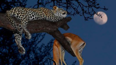 Leopard and kill in tree
