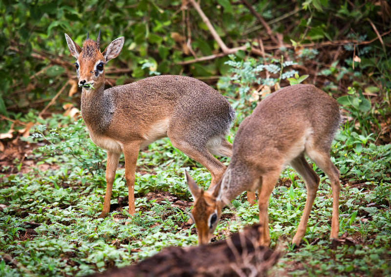 Duikers in forest, Best time to visit Tanzania