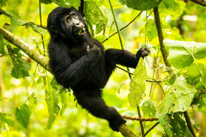 young gorilla hanging in tree eating leaves in Bwindi Impenetrable National Park