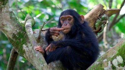 Chimpanzee seen during a trek in Uganda