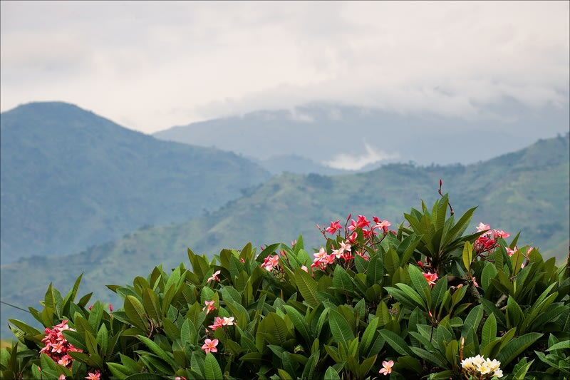 View of the mountains of Bwindi Impenetrable National Park with mist and pink frangipanis in the foreground