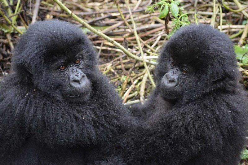 Two mountain gorilla infants in Uganda, gorilla trekking Rwanda