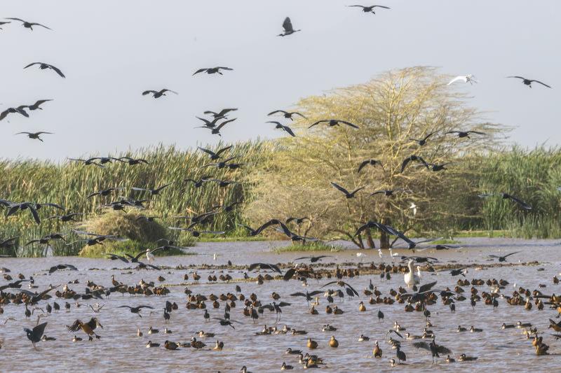 African spoonbills and ducks Lake Manyara