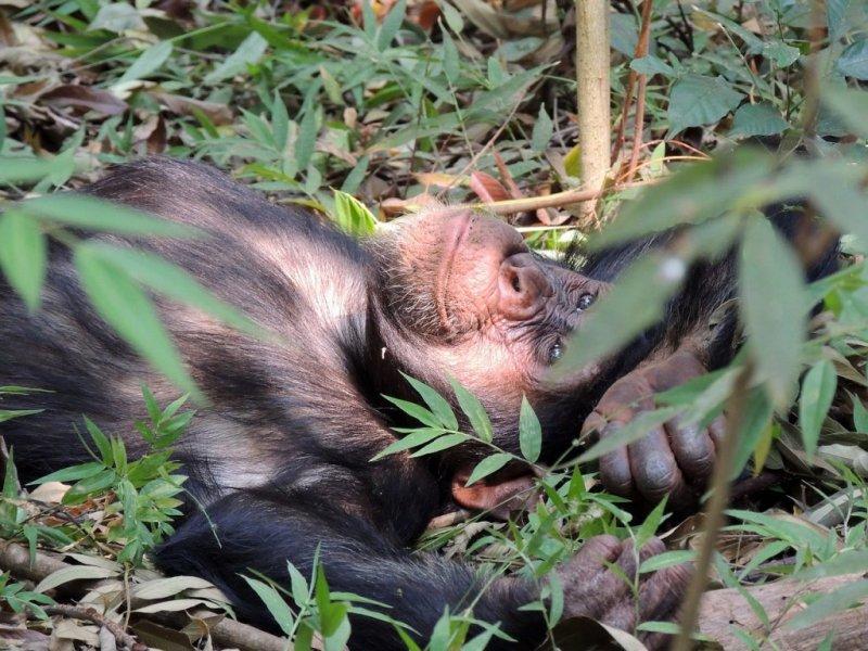 chimp lying on the ground