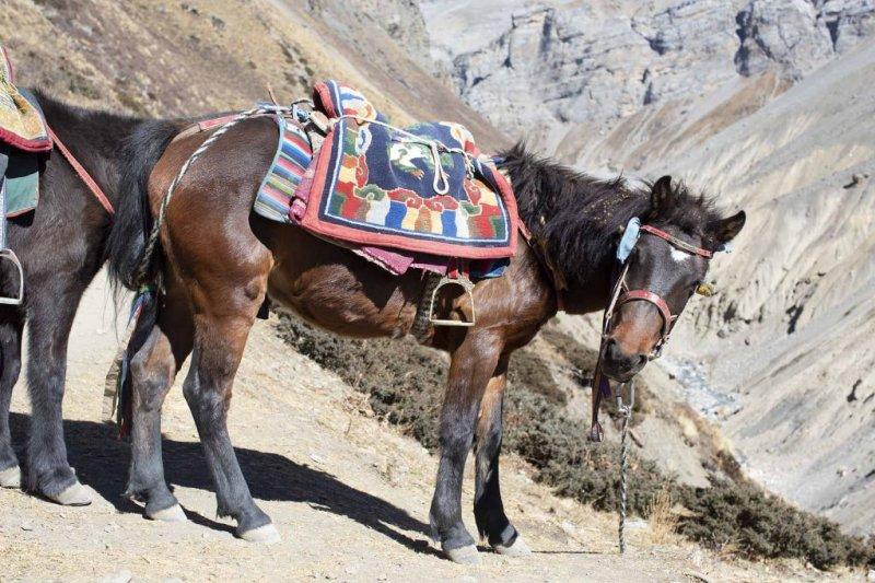 Horse Annapurna Circuit route
