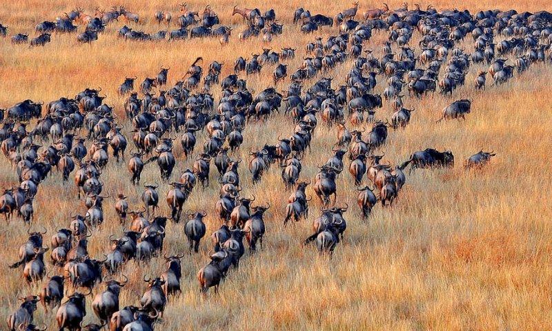 Blue wildebeests herd