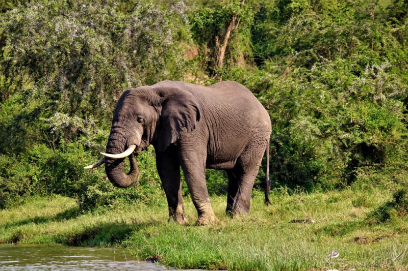 African elephant at water's edge