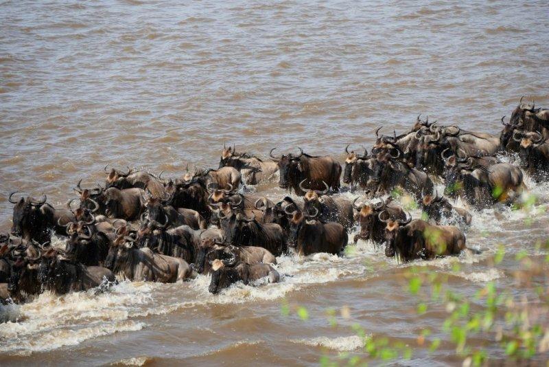 river crossing of wildebeests