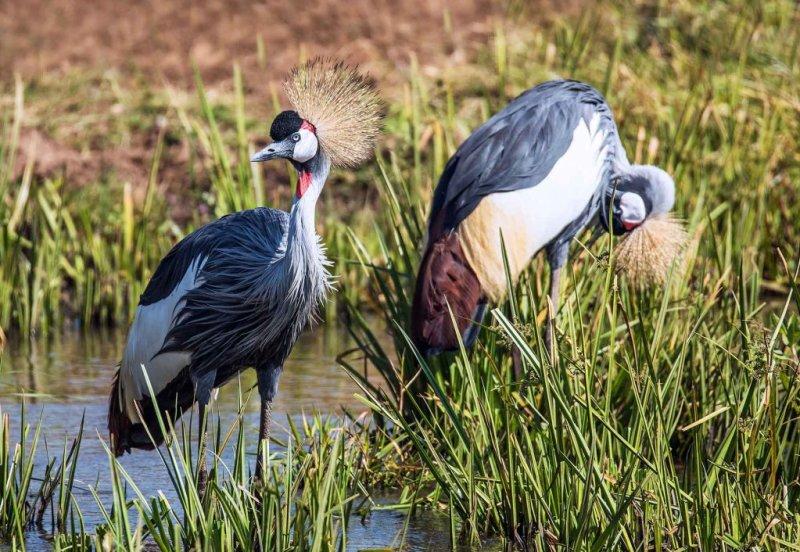 Grey crowned cranes in Uganda