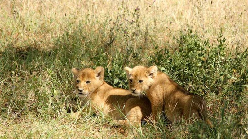 Two lion cubs in tall grass