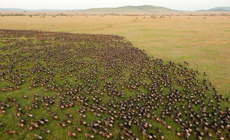 Wildebeest herd of the Great Migration