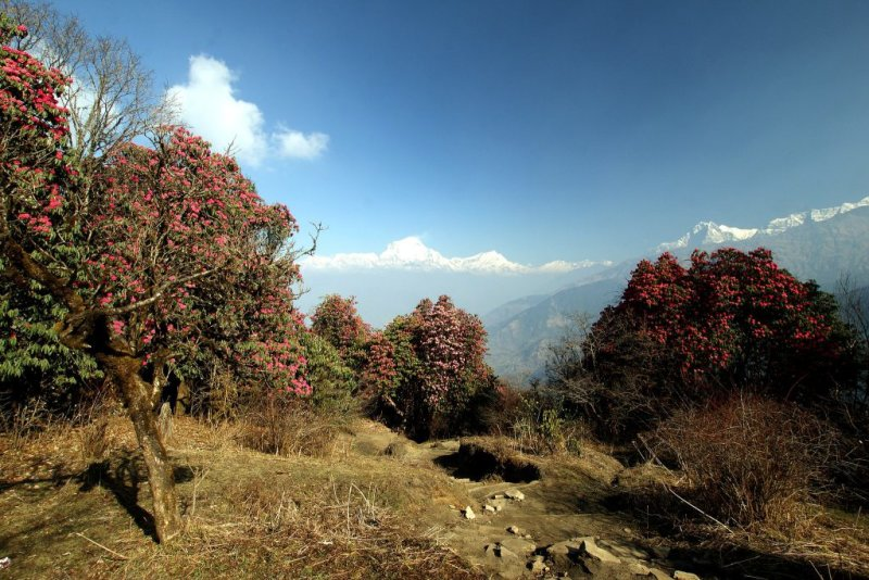 Rhododendrons in Annapurna Mountains